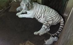 Hổ trắng quý hiếm đẻ con ở Thảo cầm viên Sài Gòn