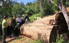 Lâm tặc chặt hạ 3 cây xoan đào hàng trăm năm tuổi