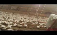 """McDonald's VN lên tiếng vụ gà bị """"bạo hành"""""""