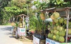 Nhiều nông dân Trà Vinh khấm khá nhờ trồng dừa sáp
