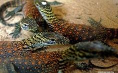 Indonesia sẽ xây dựng công viên cho những chú rồng Komodo