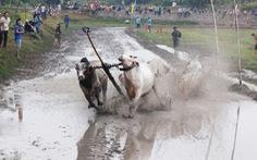Bò tranh tài sôi động tạilễ hội An Giang