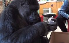 Khỉ đột 44 tuổi nhận mèo làm con nuôi