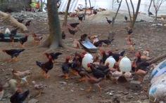 Giá gà nuôi trong nước cao gấp 2-3 lần gà ngoại