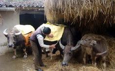 Chủ động chống đói, rét cho gia súc