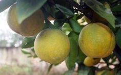 Cam tết xã Đoài bán tại vườn lên đến 80.000 đồng/quả