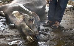 Gần 2.000 gia súc chết rét