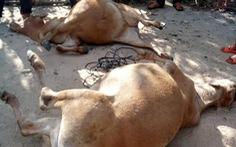 Bảo vệ rẫy bằng xyanua làm 2 con bò chết