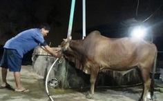 """Phục bắt bơm nước vào bò tại """"thủ phủ lò mổ"""" Bình Thuận"""