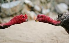 Triệt phá trường gà tại Tiền Giang, bắt giữ 38 con bạc