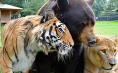 Kỳ lạ hổ, sư tử, gấu kếtbạn 15 năm không rời