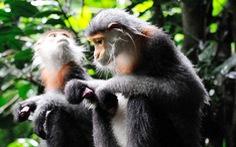Phát hiện đàn voọc quý ít nhất 500 con ở Kontum