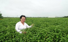 Cây Hoàn Ngọc hỗ trợ điều trị các bệnh viêm nhiễm