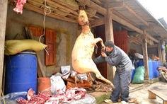 Rét tháng ba, trâu Sa Pa lại gục chết hàng loạt