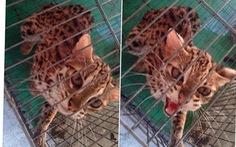 Giải cứu chú mèo rừng bị rao bán trên facebook