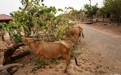 Bác tin đồn rơm cuộn gây sẩy thai trên bò