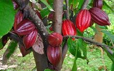 Mục tiêu 50.000 ha cacao tại Tây Nguyên, Đông Nam Bộ và ĐBSCL