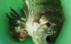 Clip cá song sinh dính nhau gây kinh ngạc