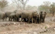 Đàn voi rừng phá rẫy người dân ởĐắk Lắktìm thức ăn