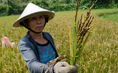 Lợi nhuận từ sản xuất lúa VN quá thấp