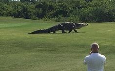 Choáng với clip cá sấu khổng lồ trên sân golf