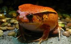 Phát hiện hai loài ếch mới, lớn lên từ trứng tại Ecuador