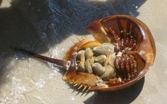 Ăn nhầm so biển, 4 người trong gia đình ngộ độc