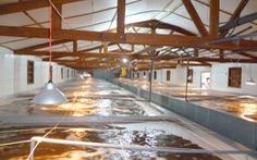 Cà Mau cung cấp 8 tỷ con giống tôm sạch