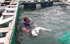 Chủ tịch Bình Thuận chỉ đạo làm rõ nguyên nhân cá bớp chết
