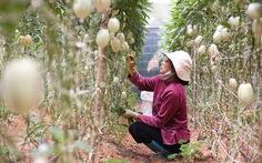 Đà Lạt trồng thành công dưa Pepino Nam Mỹ