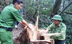 66 cây pơmu trăm tuổi bị đốn hạ trong khu vực cấm