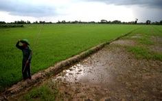 Công ty phân bón hứa bồi thường các ruộng lúa chết bất thường