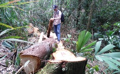 Vụ phá rừng pơ mu:Đình chỉ đồn trưởng biên phòng