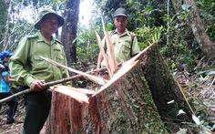 Thêm 3 nghi can vụ phá rừng pơ mura đầu thú