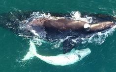 Phát hiện cá voi trắng cực hiếm ngoài khơi Úc