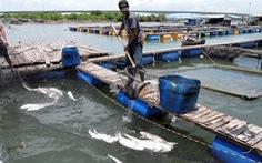 Cá lồng bè Long Sơn chết vì thiếu ôxy cục bộ