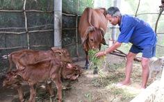 Kỳ lạ bò sinh ba tại Bến Tre