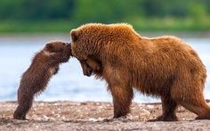 Chùm ảnh gấu mẹ dạy gấu con cực đáng yêu