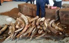 Khởi tố vụ buôn lậu trên 2 tấn ngà voi tại TP.HCM