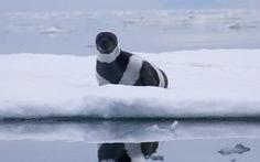 Chú hải cẩu có sọc như ngựa vằn rất dễ thương