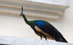 Thảo cầm viên Sài Gòn cứu chim công quý hiếm lạc giữa phố