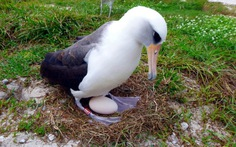Hải âu 66 tuổi vẫn đẻ trứng