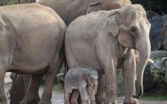 Ngắm voi con châu Á chập chững vào đời