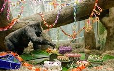 Khỉ đột thọ nhất thế giới mừng sinh nhật 60