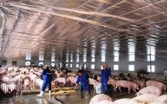 Rà soát quy hoạch chăn nuôi lợn gắn với thị trường