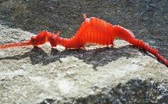 Lần đầu quay được rồng biển ruby cực hiếm