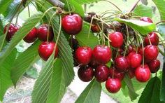 Tết này sang Úc hái cherry