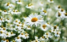 Làm đẹp từ hoa đào, hoa cúc ngày xuân