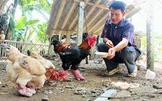 Gà Đông Tảo chân 'siêu khủng' đắt hàng dịp tết Đinh Dậu