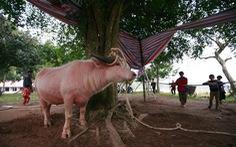 Lễ hội Đông Cuông thay treo bằng mổ trâu